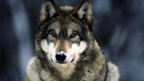 Волки и одежда с принтами волков
